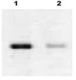 WB - Caspase 3 siRNA vector