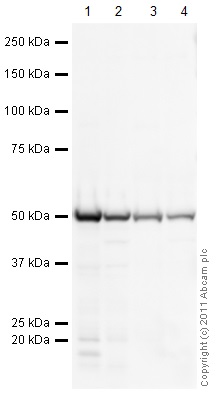 Western blot - Spleen (Human) Tissue Lysate - adult normal tissue (ab29699)