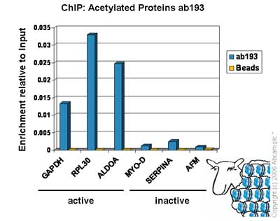 ChIP - Acetylated Proteins antibody - ChIP Grade (ab193)