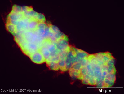 Immunocytochemistry/ Immunofluorescence - c-Myc antibody [9E10] (ab32)
