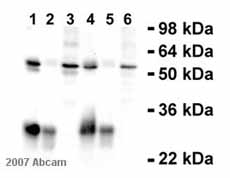 Immunoprecipitation - Cyclin A antibody [E23.1] (ab38)