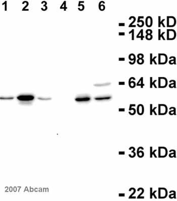 Western blot - Cyclin A antibody [E23.1] (ab38)