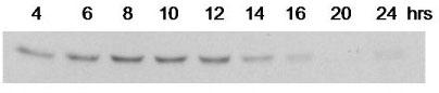Western blot - Cyclin B1 antibody [V152] (ab72)