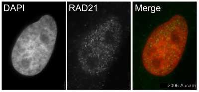 Immunocytochemistry/ Immunofluorescence - Rad21 antibody (ab992)