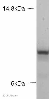 Western blot - Kappa light chain antibody [MEM-09] (ab1050)