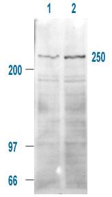 Western blot - mTOR (phospho S2448) antibody (ab1093)