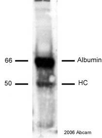 Western blot - Biotin antibody (ab1227)