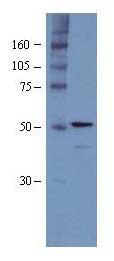 Western blot - p48 CAF1 antibody (ab1765)