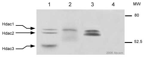 Immunoprecipitation - p48 CAF1 antibody (ab1765)