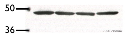 Western blot - Actin antibody (ab1801)