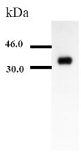 Western blot - Apolipoprotein E  antibody [D6E10] (ab1906)