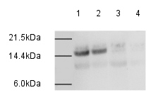 Western blot - Anti-Histone H2A (di methyl K95) antibody (ab4633)