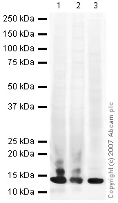 Western blot - Histone H4 antibody (ab10158)
