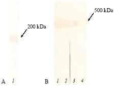 Western blot - PAPP A antibody [18A10] (ab10196)