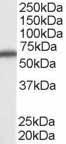 Western blot - DDX5 antibody (ab10261)
