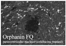 Immunohistochemistry (Frozen sections) - Nociceptin antibody (ab10276)