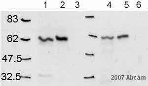 Western blot - Calnexin - ER membrane marker antibody - ER Marker (ab10286)