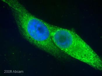 Immunocytochemistry/ Immunofluorescence - Calnexin - ER membrane marker antibody - ER Marker (ab10286)