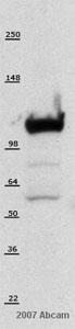 Western blot - hnRNP U antibody [3G6] (ab10297)
