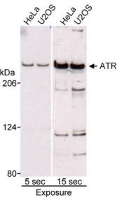 Western blot - ATR antibody (ab10327)
