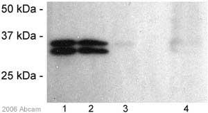 Western blot - PSTAIR antibody [PSTAIR] (ab10345)