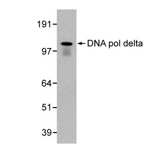Western blot - DNA Polymerase delta, catalytic subunit antibody [607] (ab10362)