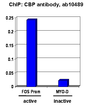 ChIP - CBP antibody - ChIP Grade (ab10489)