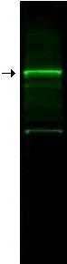 Western blot - GGA3 antibody (ab10553)