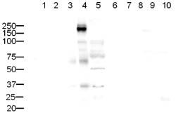 Western blot - Anti-CD45 antibody (ab10559)
