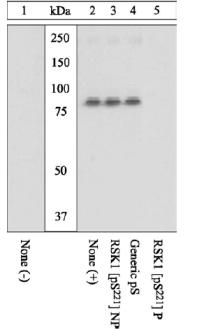 Western blot - RSK1 p90 (phospho S221) antibody (ab10695)
