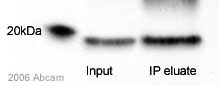 Immunoprecipitation - Anti-Bax antibody (ab10813)
