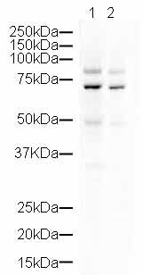 Western blot - CPEB3 antibody (ab10883)