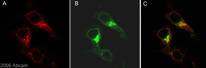 Immunocytochemistry/ Immunofluorescence - beta Amyloid antibody [DE2B4] (ab11132)
