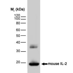 Western blot - IL2 antibody [JES6-1A12] (ab11510)