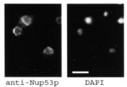 Immunocytochemistry/ Immunofluorescence - Nup53 antibody (ab11692)
