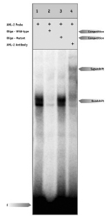 Electrophoretic Mobility Shift Assay - RUNX3 antibody (ab11905)