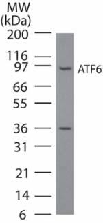 Western blot - Anti-ATF6 antibody [70B1413] - ChIP Grade (ab11909)