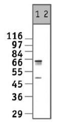 Western blot - Anti-c-Myc antibody (ab11917)
