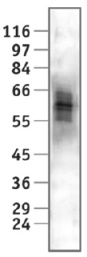 - Nab2 antibody [cl.1C4] (ab11987)