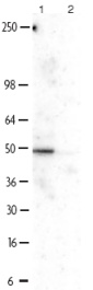 Western blot - NFIB / NF1B2 antibody (ab11989)