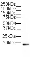 Western blot - anti-Histone H3 antibody - ChIP Grade (ab12079)