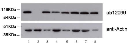 Western blot - Arp5 antibody (ab12099)