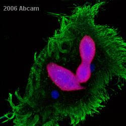 Immunocytochemistry/ Immunofluorescence - Histone H3 (acetyl K9) antibody [AH3-120] - ChIP Grade (ab12179)