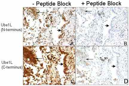 Immunohistochemistry (Formalin/PFA-fixed paraffin-embedded sections) - Anti-Ube1L antibody (ab12200)