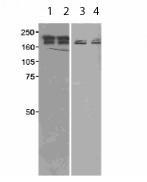 Western blot - SETDB1 antibody (ab12317)