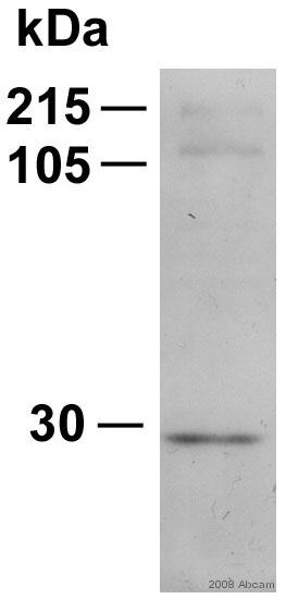 Western blot - Hsp27 antibody (ab12351)