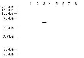Western blot - PTP gamma antibody (ab12555)