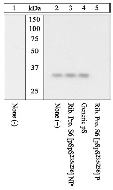 Western blot - RPS6 (phospho S235 + S236) antibody (ab12864)