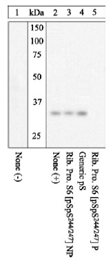 SDS-PAGE - RPS6 (phospho S244 + S247) antibody (ab12865)