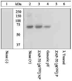 Western blot - ZAP70 (phospho Y292) antibody (ab12868)